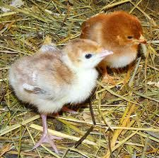 Turkey Poults.