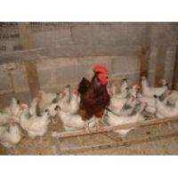 RHODE ISLAND RED X LIGHT SUSSEX HENS SEXABLE AT DAY OLD