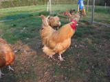 BUFF ORPINGTON LARGE FOWL HATCHING EGGS