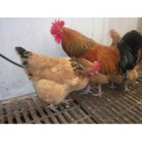 POT LUCK LARGE FOWL HATCHING EGGS
