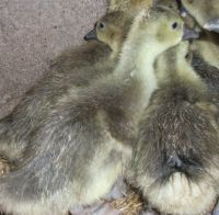Week Old Goslings toolouse